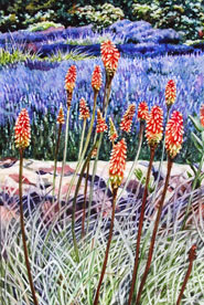 Lavender and Hot Red Pokers